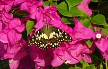 三角梅上与蝴蝶精美图片