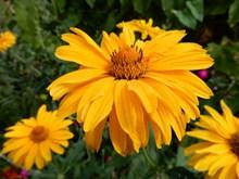 黄色菊花花朵绽放图片