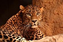 凶狠猎豹精美图片