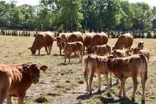 牧场放牧牛群图片素材