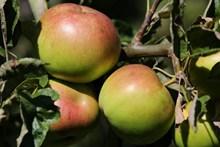 成熟青苹果素材图片下载