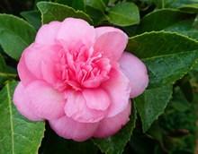 漂亮粉色茶花花朵图片