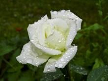 雨后白色玫瑰花朵图片素材