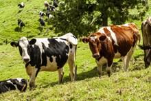白斑奶牛放牧图片