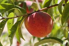 成熟新鲜水蜜桃高清图片