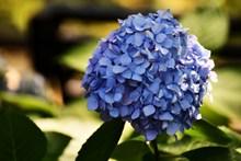 蓝色绣球花团高清图