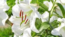 纯白色百合花图片