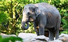 森林野生大象图片