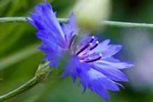 矢车菊花朵摄影精美图片
