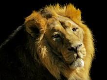 狮子头部肖像特写图片素材