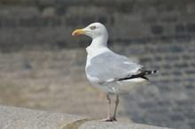 一只海鸥站立图片素材