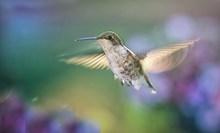 蜂鸟展翅飞图片素材