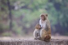 小猴母猴精美图片