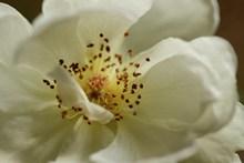 白玫瑰微距图片大全