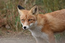 可爱红狐狸摄影图片下载
