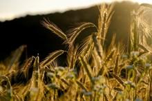 清晨小麦背景图片大全