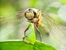 蜻蜓头部特写图片大全