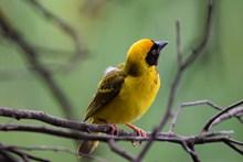 树枝上黄色鸟图片