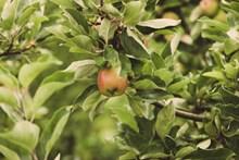 苹果树结果精美图片