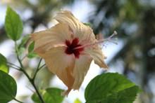 淡黄色木槿花图片素材
