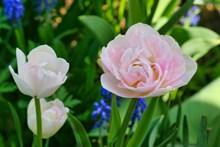 淡粉色郁金香开花精美图片