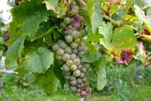 葡萄园成熟葡萄串高清图片