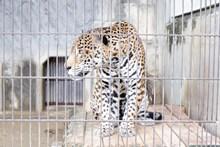 笼子里的猎豹精美图片