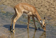 黑斑羚羊喝水高清图