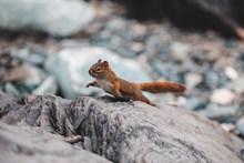 棕色小松鼠图片素材