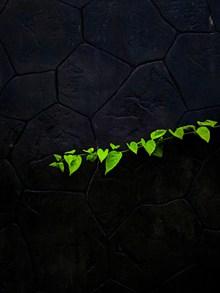 石墙上的绿叶图片下载