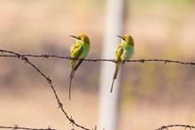 一对食蜂鸟图片下载
