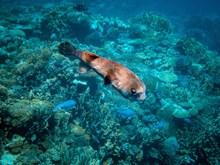海底小河豚图片下载