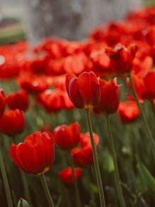 大红色的郁金香图片下载