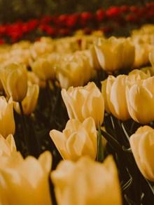 好看的黄色郁金香图片下载