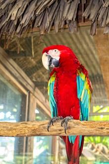 一只红色金刚鹦鹉图片下载