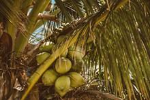椰树上的椰子高清图