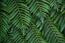绿色蕨类叶子图片大全