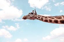 长颈鹿局部摄影精美图片