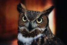 野生猫头鹰图片