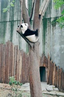 熊猫爬树图片素材
