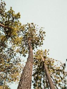 挺拔的松柏树木高清图片