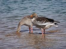 两只水鸭子图片下载
