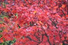 树木红枫叶高清图