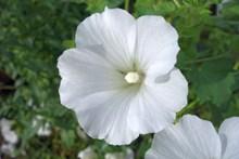 纯白色木槿花高清图片