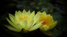 黄色睡莲开花图片下载