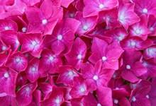艳丽绣球花鲜花图片下载