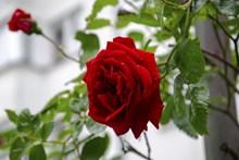 大红玫瑰花朵开花图片大全