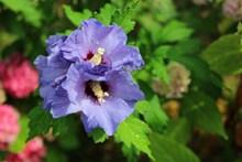 紫色木槿花绽放高清图片