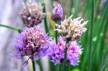 紫色洋葱花穗图片大全
