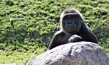一只大猩猩图片素材